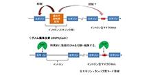 「イントロン型マイクロRNAとその宿主遺伝子の関連性の解明」【浅原弘嗣 教授】