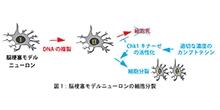 「なぜニューロンは増えないのか?」【味岡逸樹 准教授】
