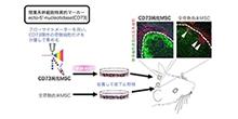 「間葉系幹細胞の新鮮純化可能な細胞表面マーカーを同定」【赤澤智宏 教授】