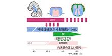 「舌の発生とその形態・運動異常の仕組みを解明」【井関祥子 教授】