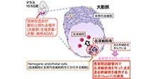 「胎生期の造血幹細胞の維持に関与する分子Sox17の発見」【信久幾夫 准教授】