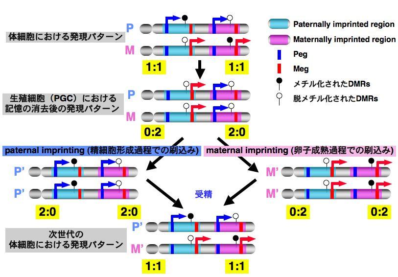 イン プリンティング ゲノム